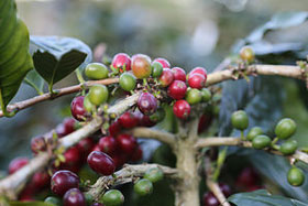 coffee beans on vine
