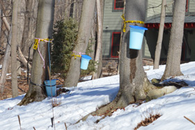The sap harvested from maple trees and made into syrup by faculty and students at The Culinary Institute of America came from trees near student housing on the college's Hyde Park, NY campus